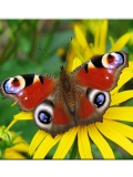 Butterfly Wallpapers 240x320 KeypadPhone mobile app for free download