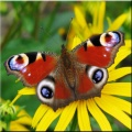 Butterfly Wallpapers 320x240 mobile app for free download