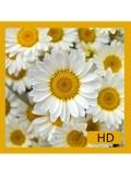 Flowers Wallpapers 240x320 Keypadphones