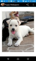 Puppy Wallpapers mobile app for free download