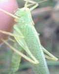 Grasshopper (improved) mobile app for free download
